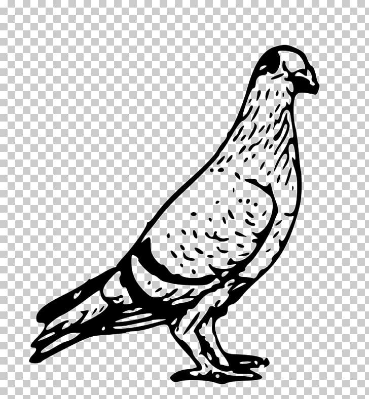 Columbidae Homing pigeon English Carrier pigeon , pigeon PNG.