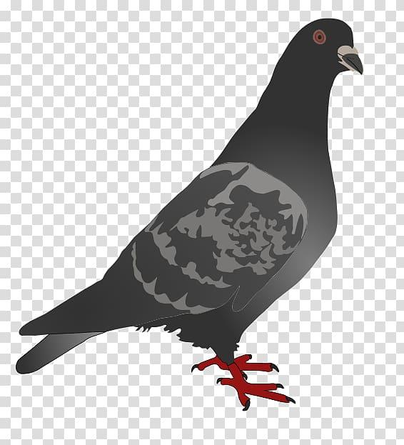 Homing pigeon English Carrier pigeon Columbidae Bird , peace.