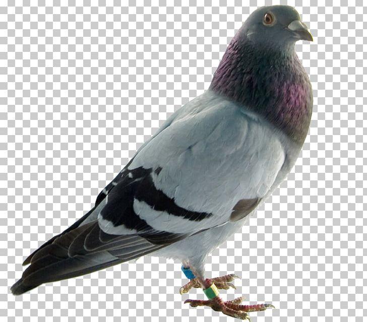 Rock Dove Columbidae Bird English Carrier Pigeon Homing.