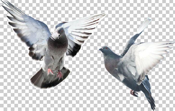 Domestic Pigeon Fancy Pigeon Bird Blue Pigeon Flying.