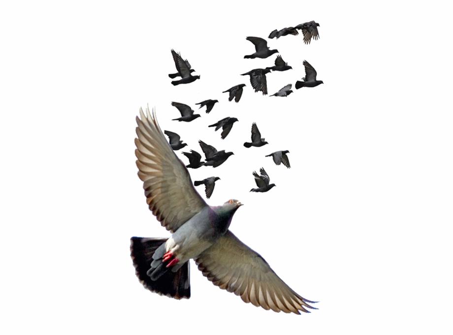 Pigeon Png Photos.