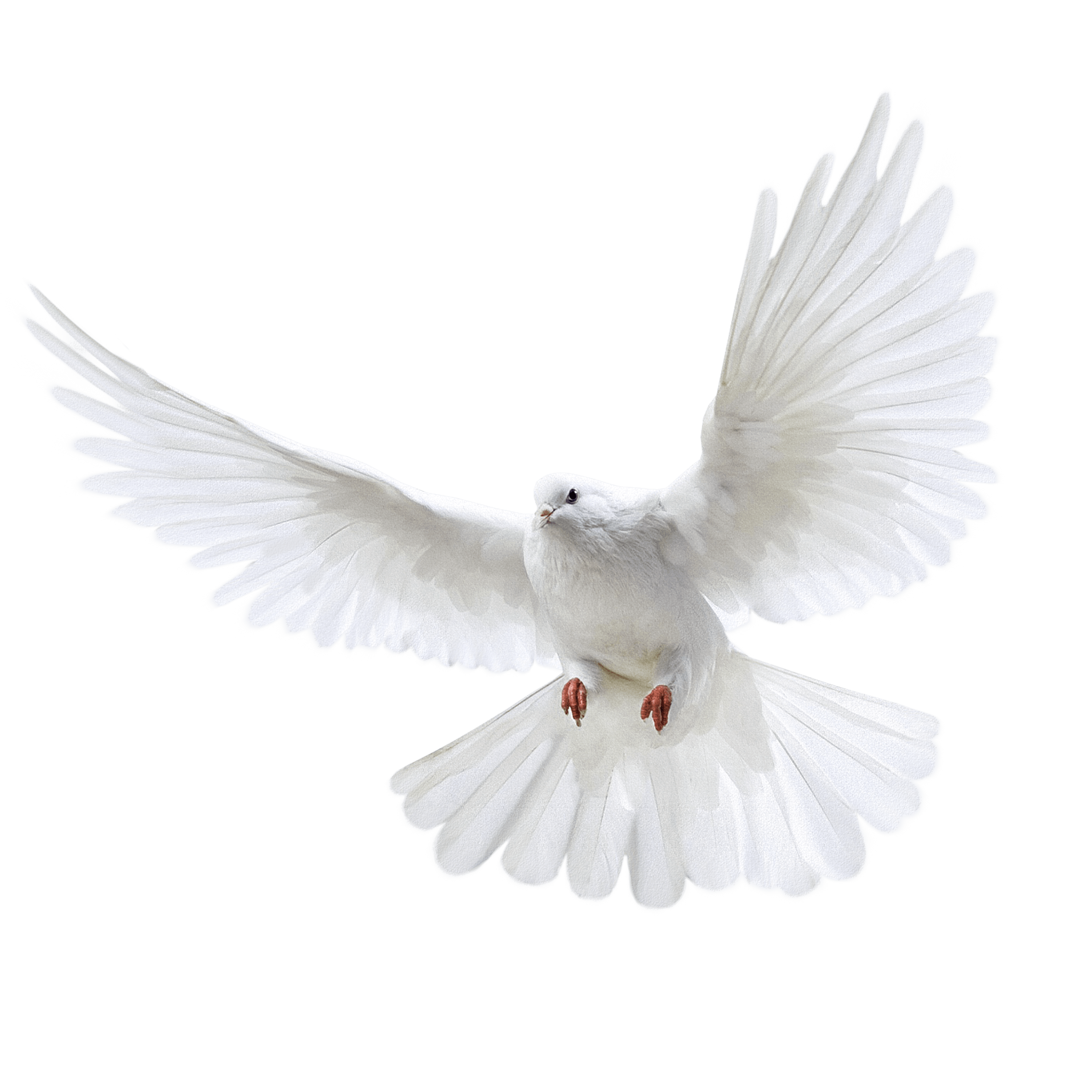 White Pigeon flying PNG Image.