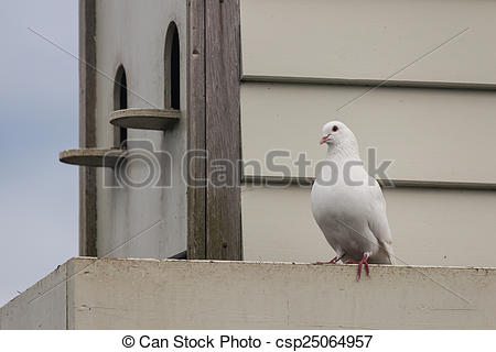 Stock Images of white pigeon with pigeon house csp25064957.