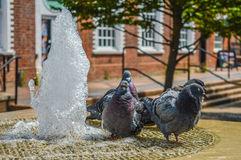 Pigeons Keeping Warm Royalty Free Stock Image.