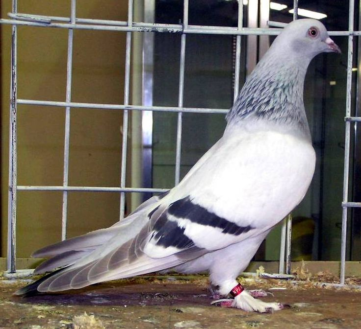 1000+ images about Pigeons on Pinterest.
