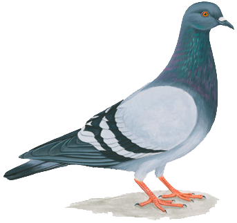 Pigeons PNG Clipart Free Pigeon Images.