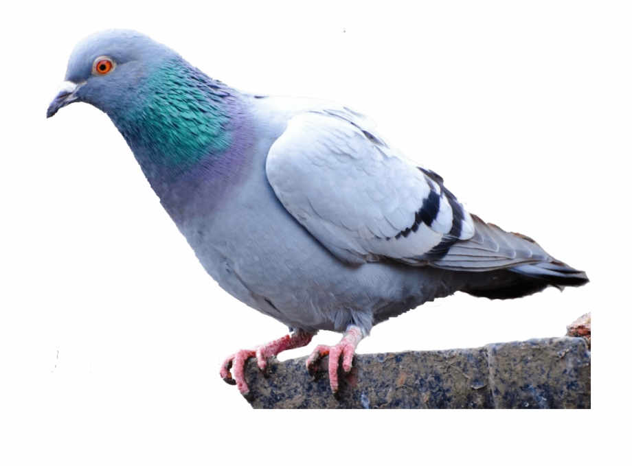 Pigeon Png.