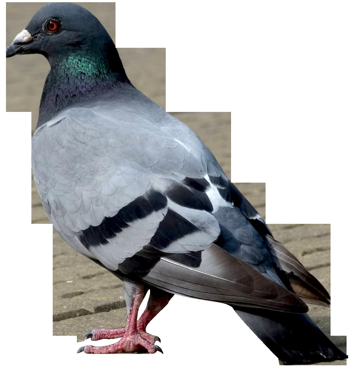 Pigeon PNG Images Transparent Free Download.