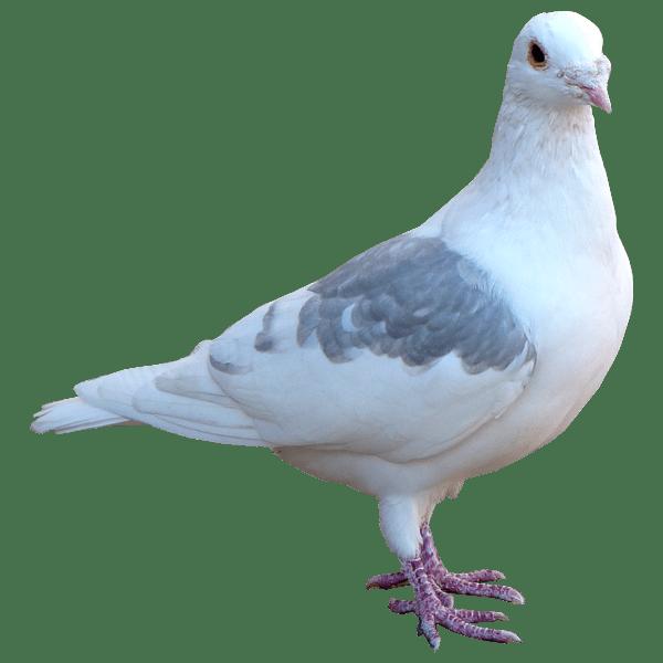 White pigeon transparent background.