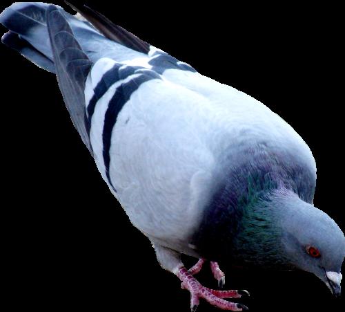 Pigeon PNG Transparent Images.