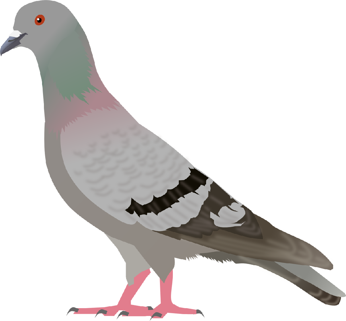 Pigeon PNG images, free pigeon png pictures download in kabootar.