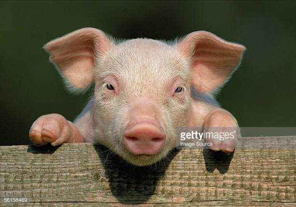 Piglet Stock Photos and Pictures.