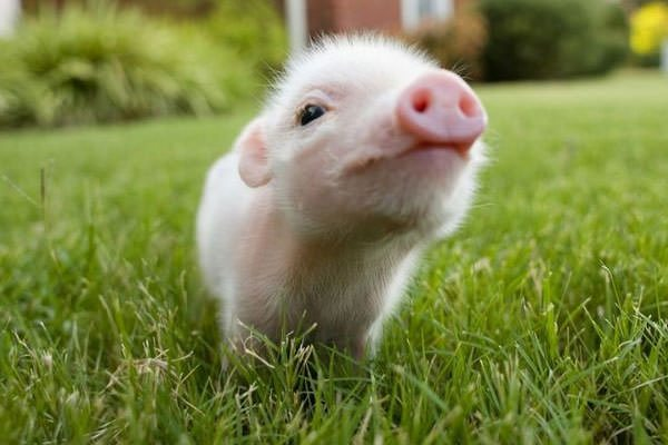 Drowning Piglet Dream Represents Need for Parental Respect.