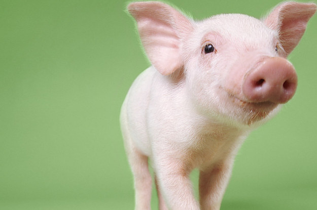 You Have To Meet The 16 Most Adorable Piglets On Vine.