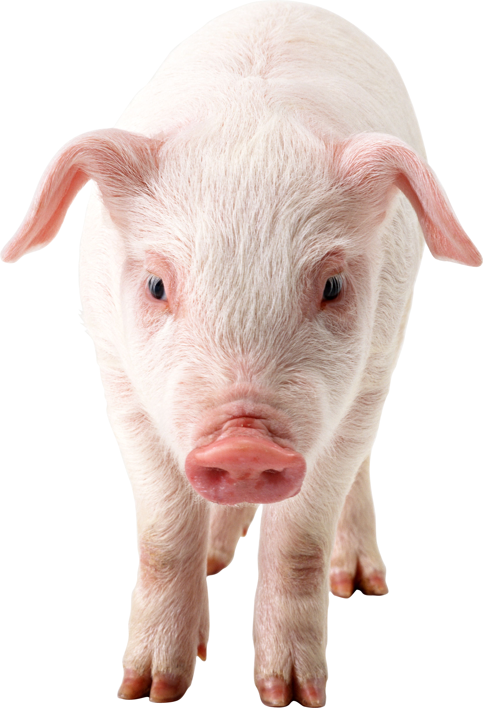 Pig PNG images, free picture download pigs.