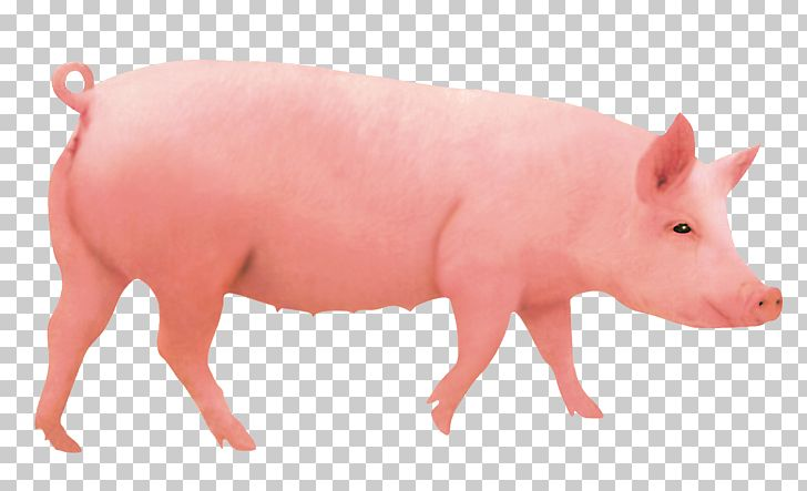 Domestic Pig Pigs Ear Hogs And Pigs Computer File PNG.
