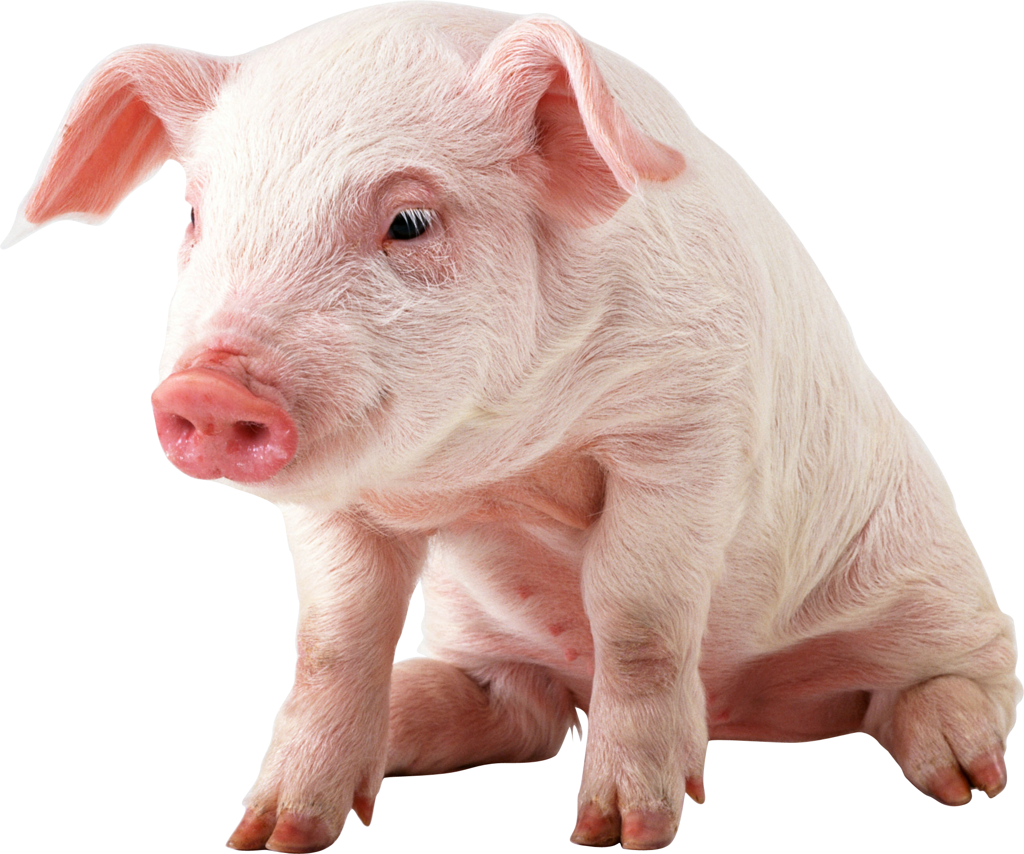 Pig PNG images.