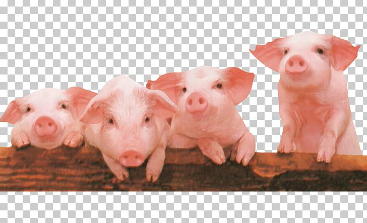 Piglet The Three Little Pigs PNG, Clipart, Animals.