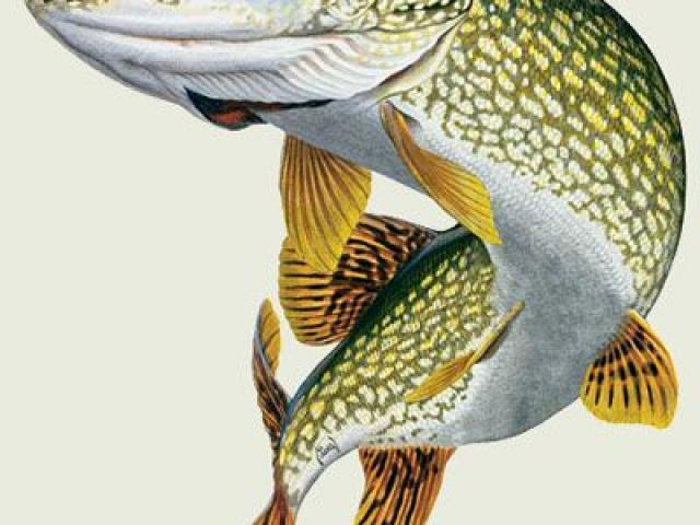 Northern pike clipart 5 » Clipart Portal.