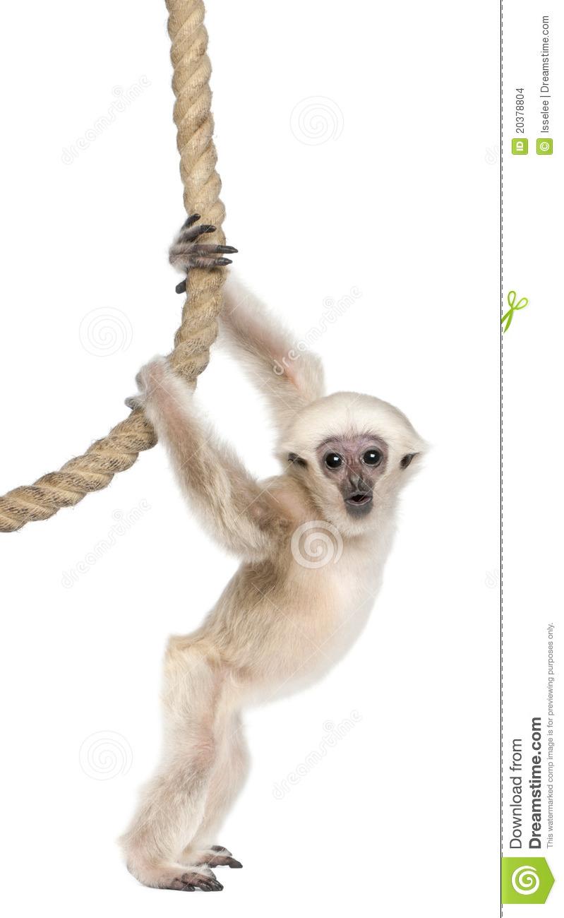 Gibbon clipart.