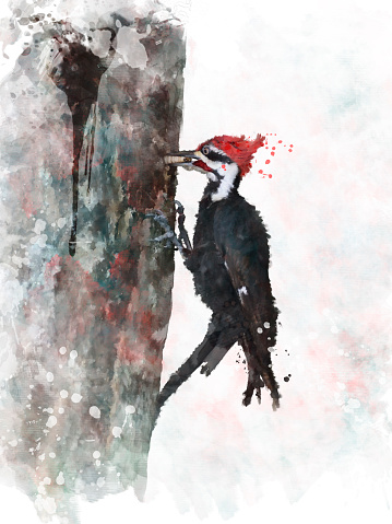 Pileated Woodpecker Clip Art, Vector Images & Illustrations.
