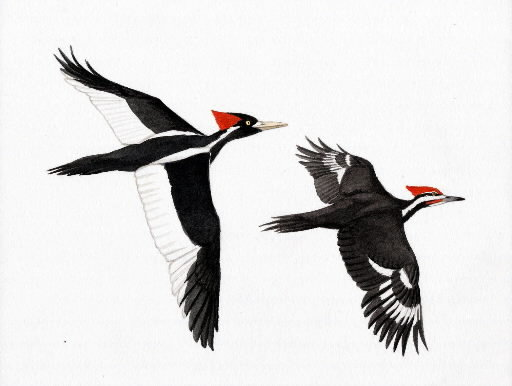 Pileated Woodpecker Clip Art Black and White.