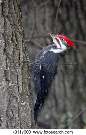 Stock Photography of Pileated Woodpecker Clinging to Side of Tree.