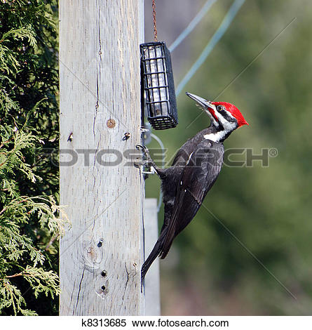 Stock Image of Male Pileated woodpecker. k8313685.