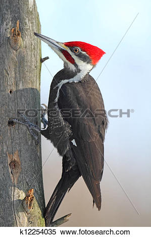 Stock Image of Pileated Woodpecker k12254035.