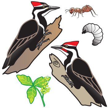 Pileated Woodpecker Life Cycle Clip Art Set.