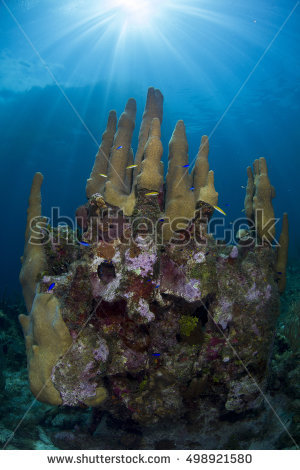 Pillar Coral Stock Images, Royalty.