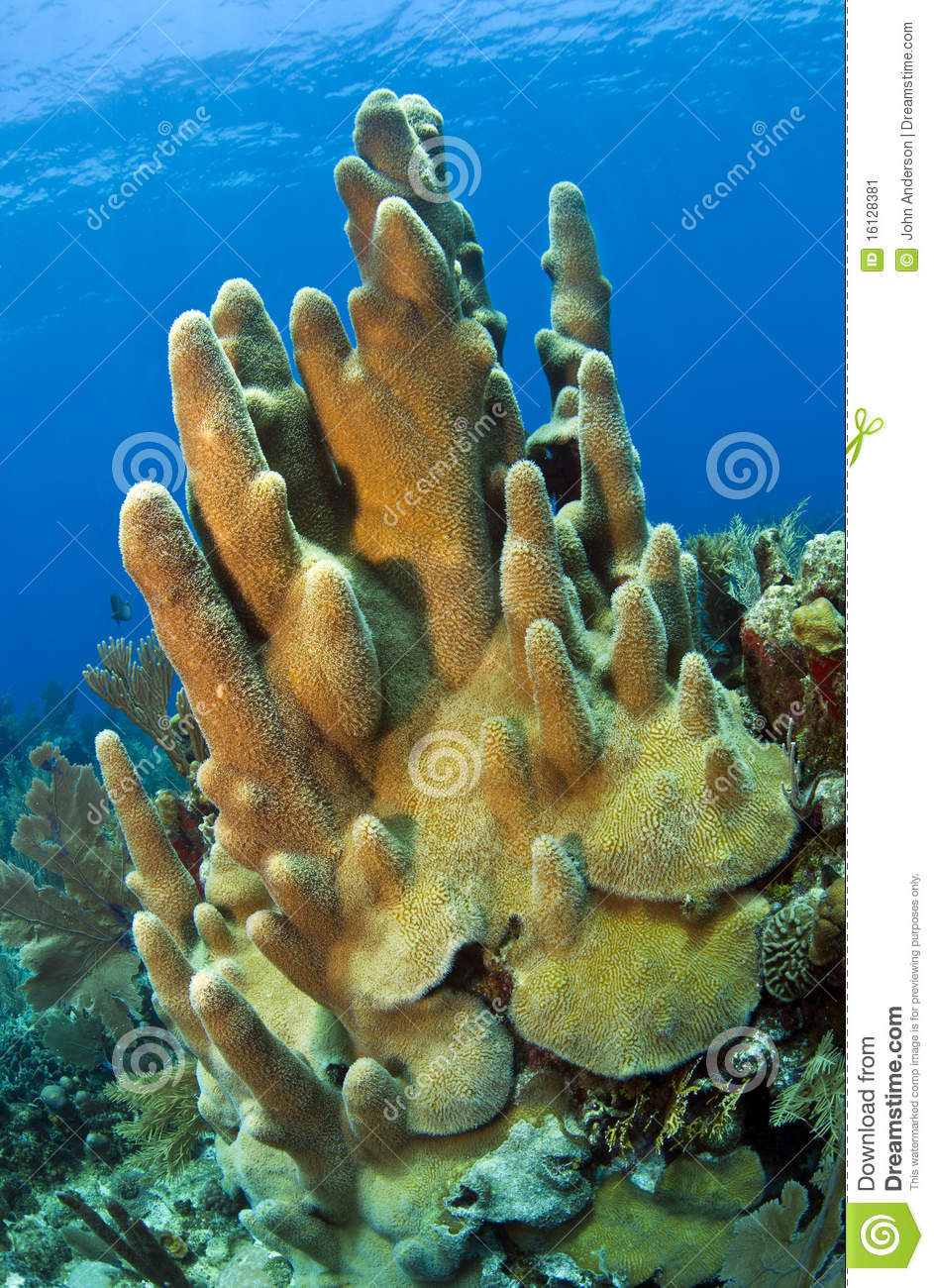 Coral Gardens Pillar Coral Stock Image.