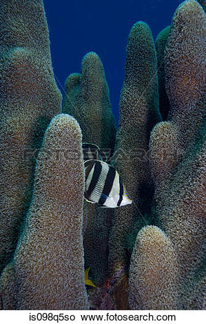 Stock Photo of Butterfly fish in pillar coral. is098q5so.
