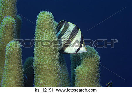 Stock Photography of Banded Butterflyfish and pillar coral.