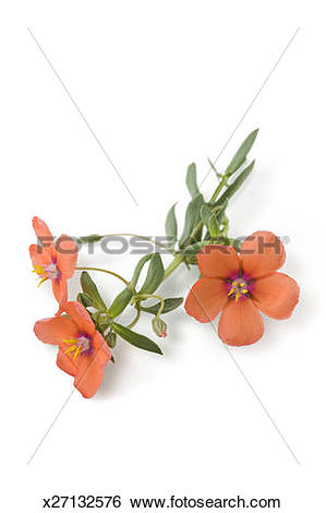 Stock Images of Scarlet Pimpernel flowering sprig, studio shot.