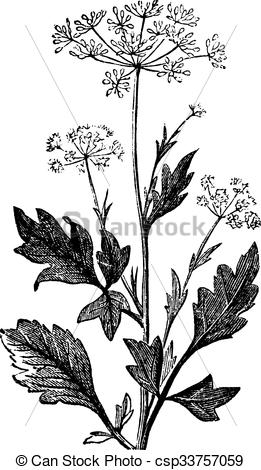 Clipart Vector of Anise or Pimpinella anisum vintage engraving.