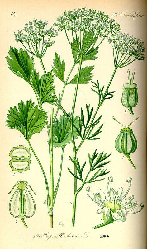 Anis (Pimpinella anisum).