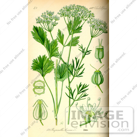Picture of Anise, Aniseed, Anis (Pimpinella anisum).