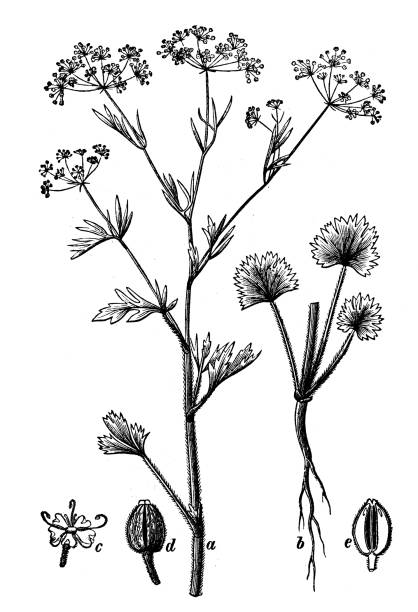 Anise Silhouettes Clip Art, Vector Images & Illustrations.