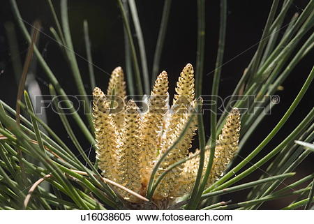 Stock Image of Forest, garden, Nadeholz, Pinaceae, Pinus nigra.