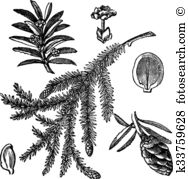 Pinaceae Clip Art Royalty Free. 23 pinaceae clipart vector EPS.