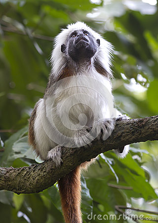 Crested Tamarin Or Monkey Pinch Stock Photo.