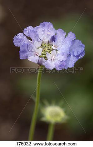 Stock Photo of Caucasian Pincushion flower (Scabiosa caucasica.