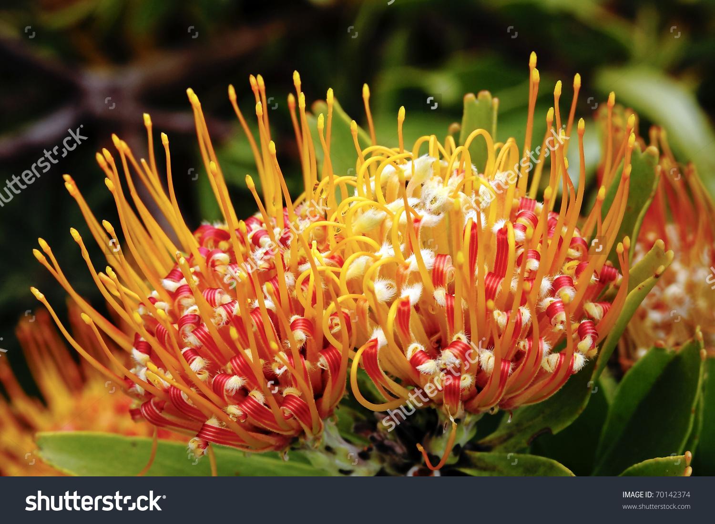 Pincushion Flower In Kirstenbosch Botanic Gardens, Cape Town.