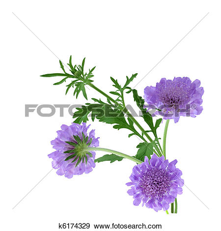 Pincushion flower clipart #16