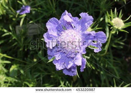 Pin Cushion Flower Stock Photos, Royalty.