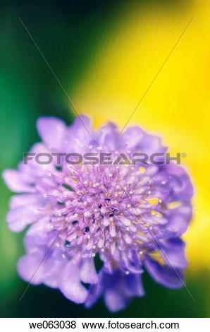 Pictures of Pincushion Flower. Scabiosa columbaria. May 2006.