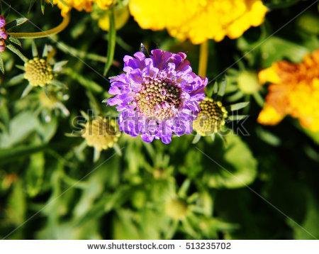 Pincushion Flower Stock Photos, Royalty.