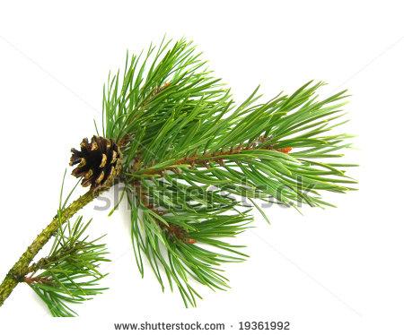 Pine bough clipart free.