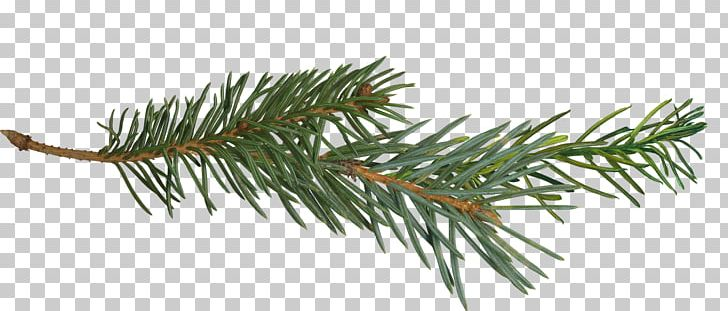 Pine Branch Tree PNG, Clipart, Branch, Clip Art, Conifer.